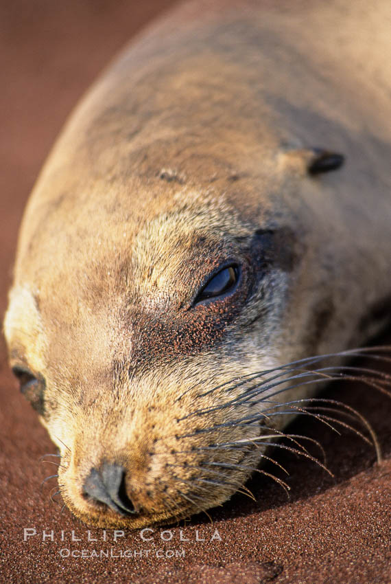 Galapagos sea lion, whiskers and external ear. Jervis Island, Galapagos Islands, Ecuador, Zalophus californianus wollebacki, Zalophus californianus wollebaeki, natural history stock photograph, photo id 03235