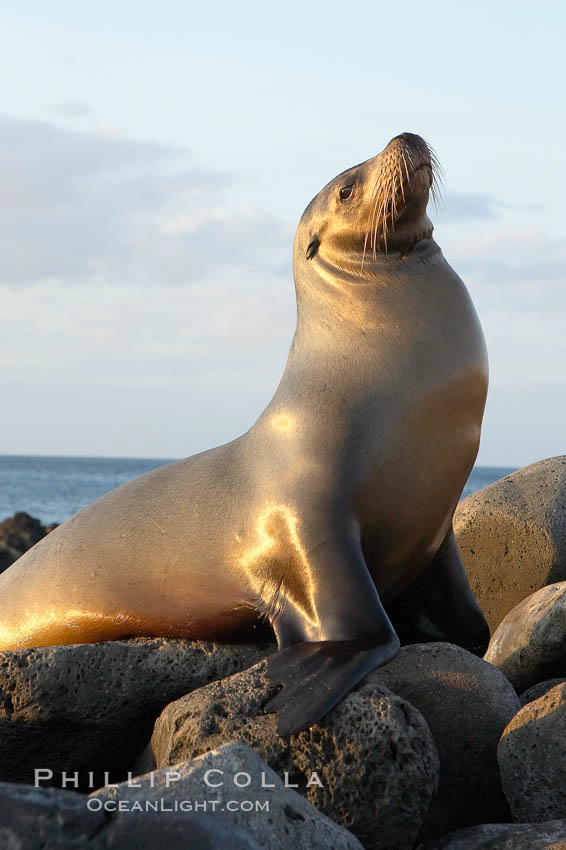Galapagos sea lion on volcanic rocks, sunset. Isla Lobos, Galapagos Islands, Ecuador, Zalophus californianus wollebacki, Zalophus californianus wollebaeki, natural history stock photograph, photo id 16509