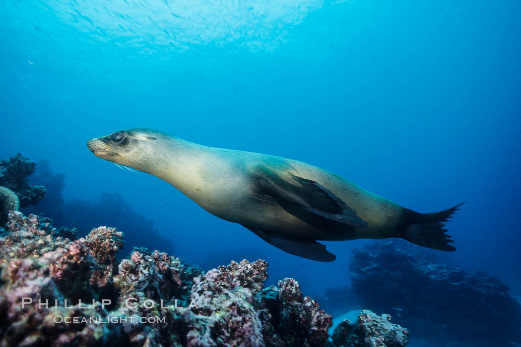 Galapagos sea lion, Devils Crown. Floreana Island, Galapagos Islands, Ecuador, Zalophus californianus wollebacki, Zalophus californianus wollebaeki, natural history stock photograph, photo id 01707