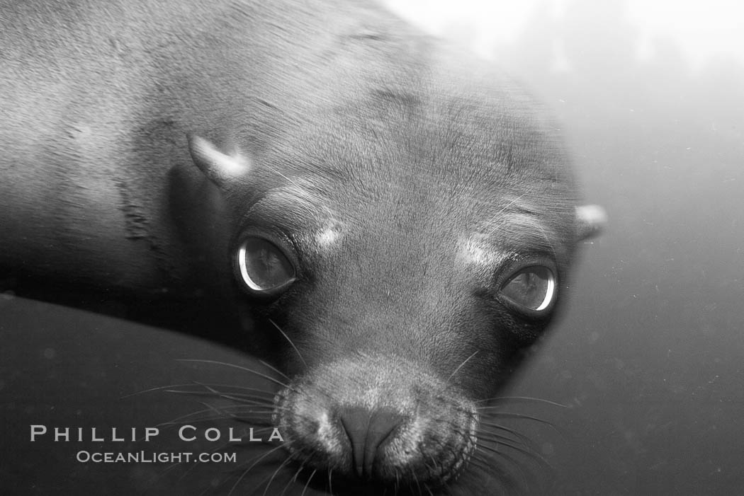 Galapagos sea lion., Zalophus californianus wollebacki, Zalophus californianus wollebaeki,  Copyright Phillip Colla, image #16395, all rights reserved worldwide.