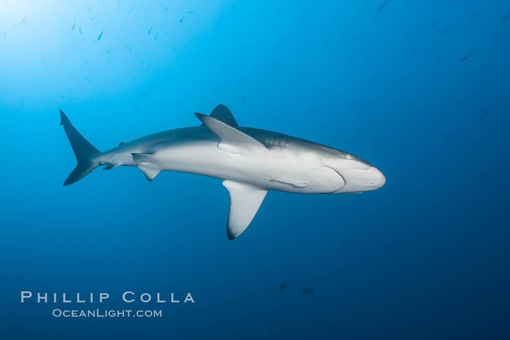 Galapagos shark. Wolf Island, Galapagos Islands, Ecuador, Carcharhinus galapagensis, natural history stock photograph, photo id 16242