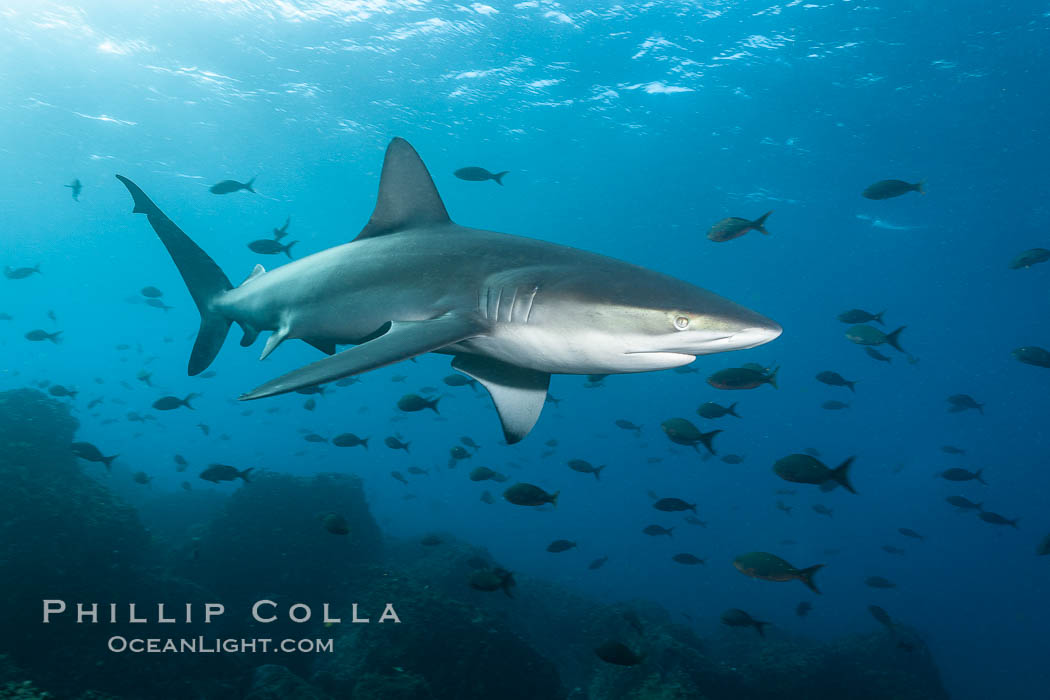 Galapagos shark swims over a reef in the Galapagos Islands, with schooling fish in the distance, Carcharhinus galapagensis, Wolf Island