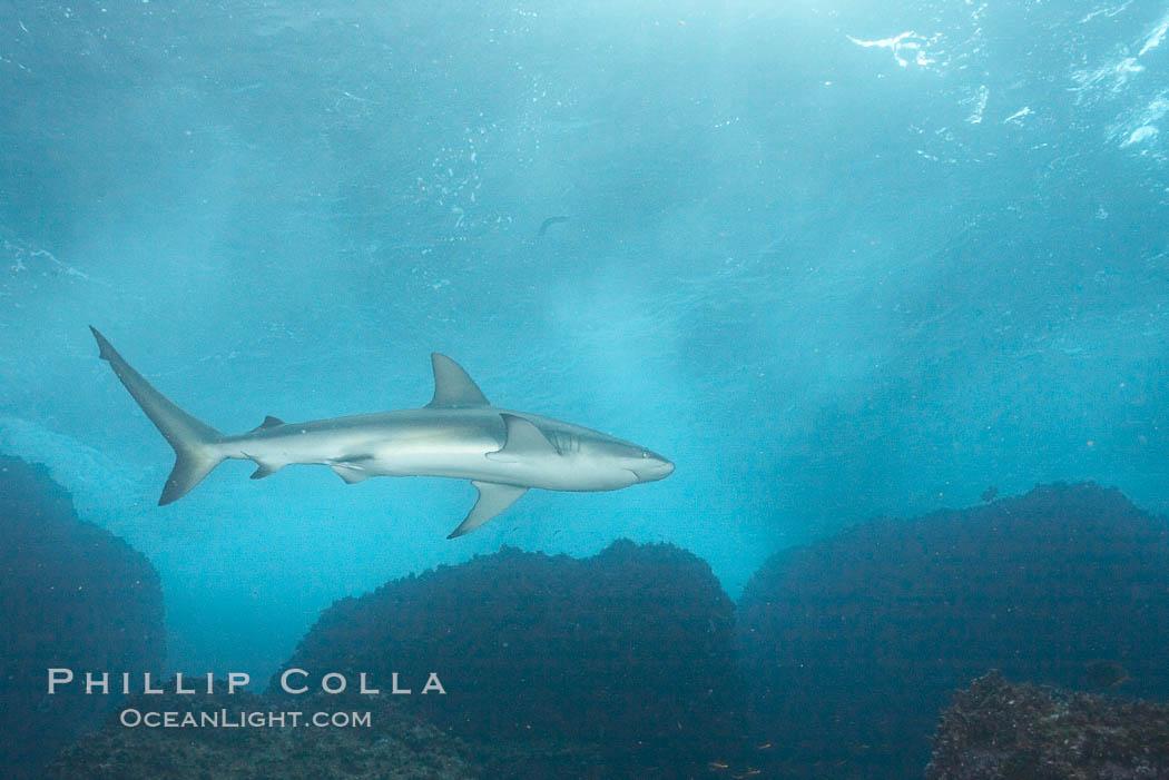 Galapagos shark. Wolf Island, Galapagos Islands, Ecuador, Carcharhinus galapagensis, natural history stock photograph, photo id 16244