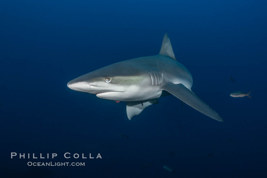 Galapagos shark., Carcharhinus galapagensis,  Copyright Phillip Colla, image #16239, all rights reserved worldwide.