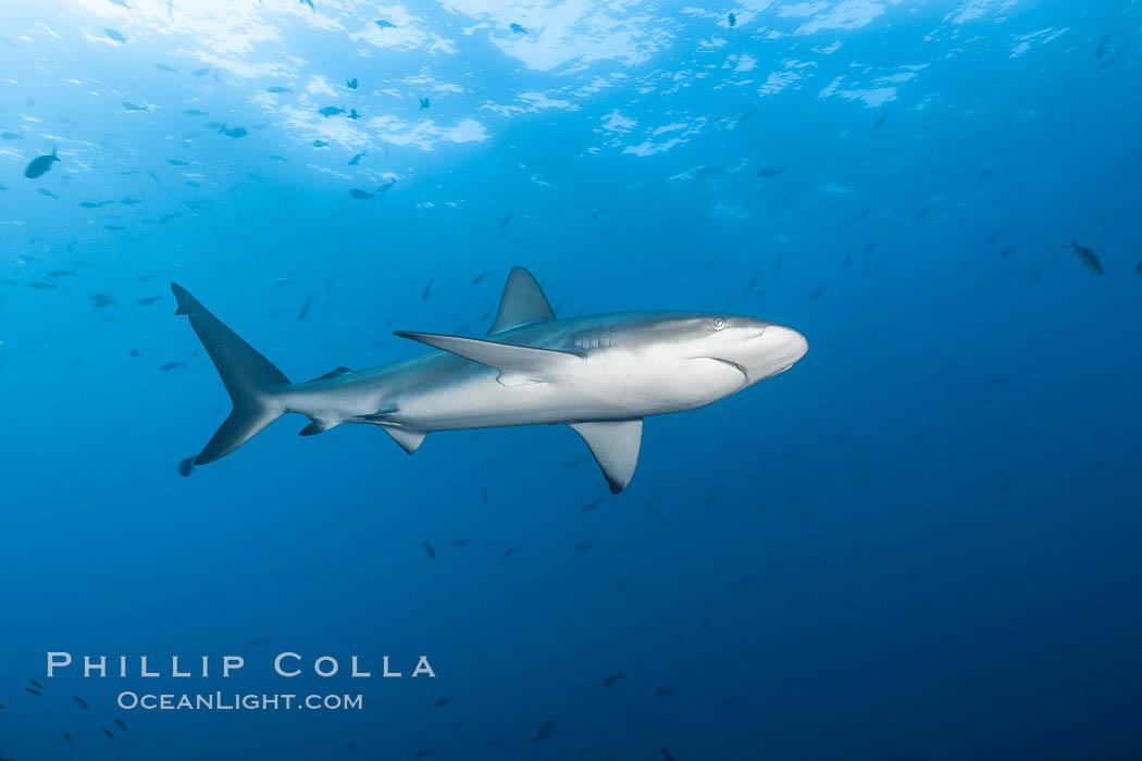 Galapagos shark. Wolf Island, Galapagos Islands, Ecuador, Carcharhinus galapagensis, natural history stock photograph, photo id 16241
