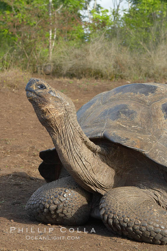 Galapagos tortoise, Santa Cruz Island species, highlands of Santa Cruz island. Santa Cruz Island, Galapagos Islands, Ecuador, Geochelone nigra, natural history stock photograph, photo id 16480