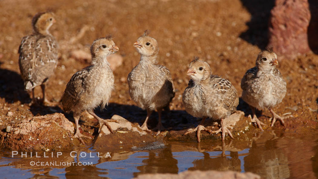 Gambel's quail, chicks. Amado, Arizona, USA, Callipepla gambelii, natural history stock photograph, photo id 22914