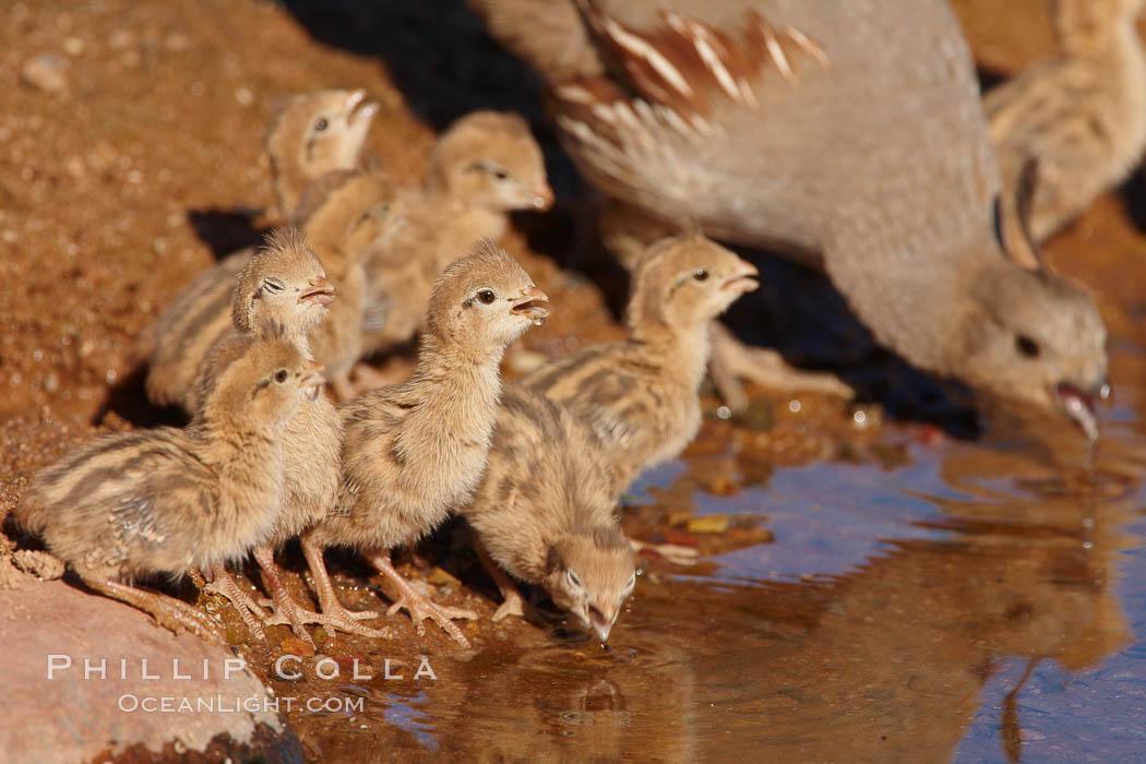 Gambel's quail, chicks, Callipepla gambelii, Amado, Arizona