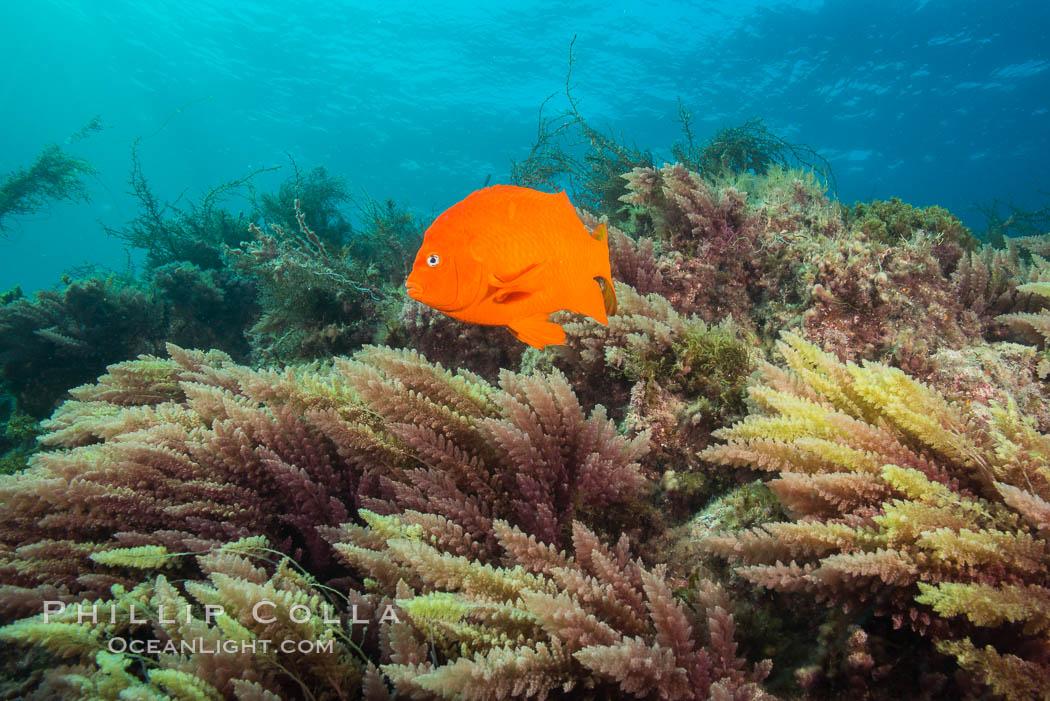 Garibaldi and Asparagopsis taxiformis (red marine algae), San Clemente Island, Hypsypops rubicundus, Asparagopsis taxiformis