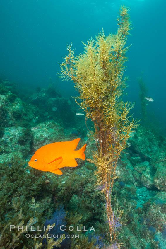 Garibaldi and invasive Sargassum, Catalina. Catalina Island, California, USA, Sargassum horneri, Hypsypops rubicundus, natural history stock photograph, photo id 30967