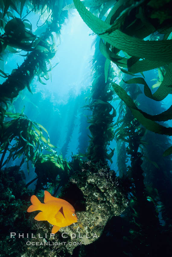 Garibaldi and kelp. San Clemente Island, California, USA, Hypsypops rubicundus, Macrocystis pyrifera, natural history stock photograph, photo id 00370