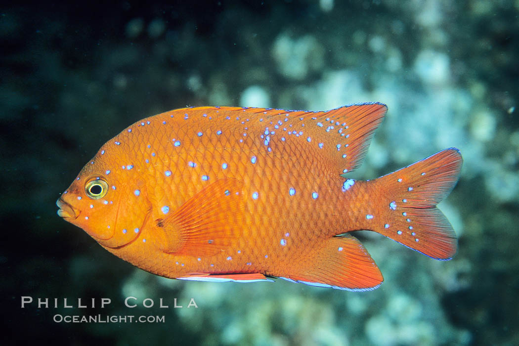 Garibaldi juvenile, vibrant spots distinguish it from pure orange adult form, Coronado Islands. Coronado Islands (Islas Coronado), Coronado Islands, Baja California, Mexico, Hypsypops rubicundus, natural history stock photograph, photo id 01930