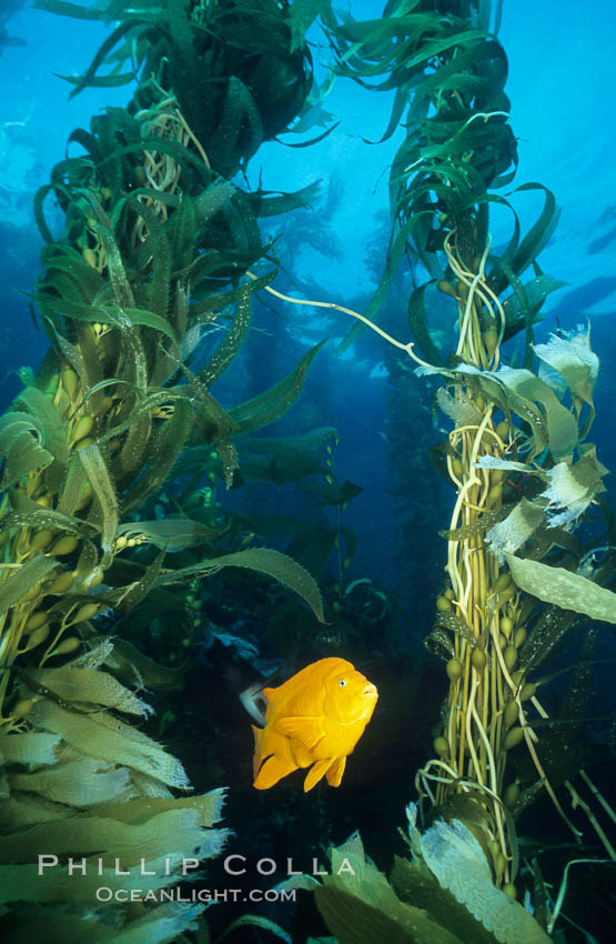 Garibaldi in kelp forest., Hypsypops rubicundus, Macrocystis pyrifera,  Copyright Phillip Colla, image #01055, all rights reserved worldwide.