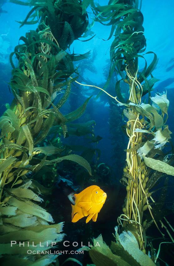 Garibaldi in kelp forest, Hypsypops rubicundus, Macrocystis pyrifera, San Clemente Island