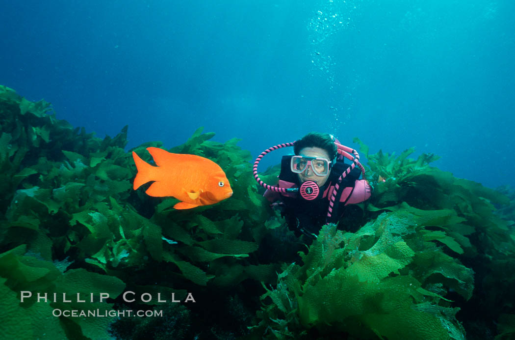 A SCUBA diver swimming over a rocky reef covered with kelp, watches a brightly colored orange garibaldi fish. San Clemente Island, California, USA, Hypsypops rubicundus, natural history stock photograph, photo id 01113