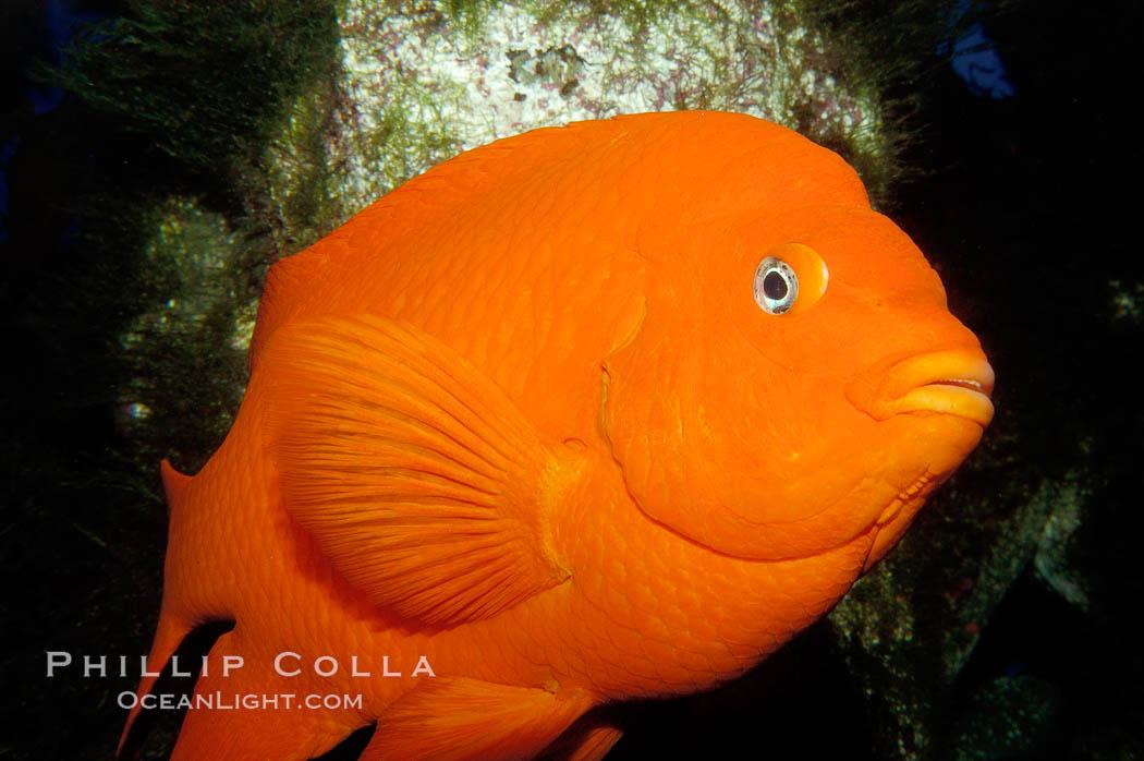 Garibaldi photo stock photograph of a garibaldi for California saltwater fish species