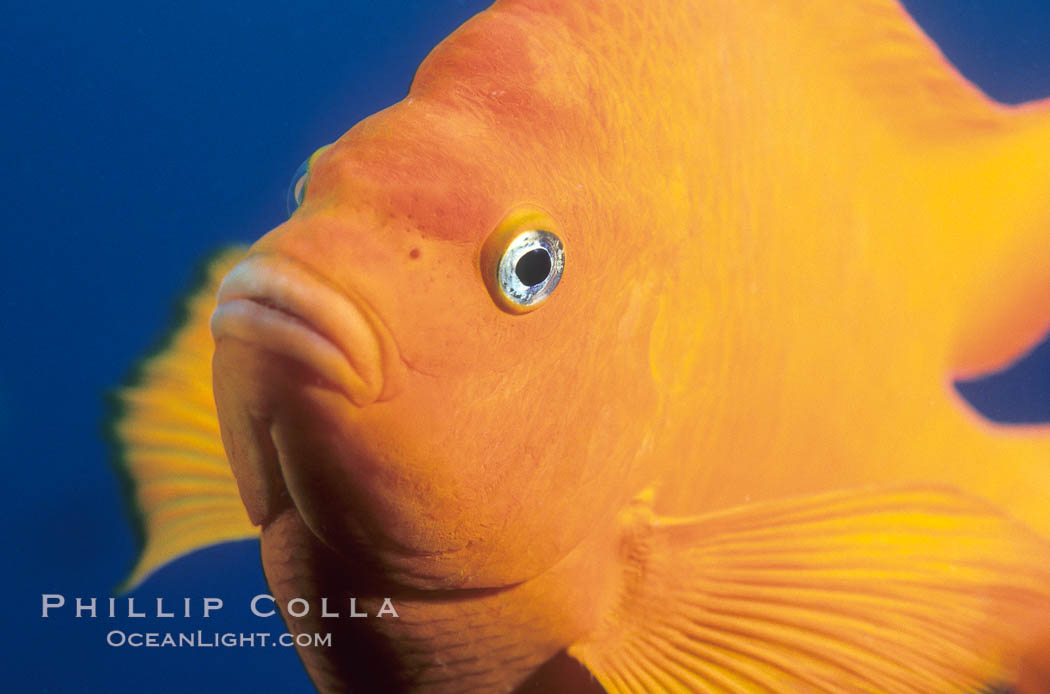 The bright orange garibaldi fish, California's state marine fish, is also clownlike in appearance. California, USA, Hypsypops rubicundus, natural history stock photograph, photo id 02416