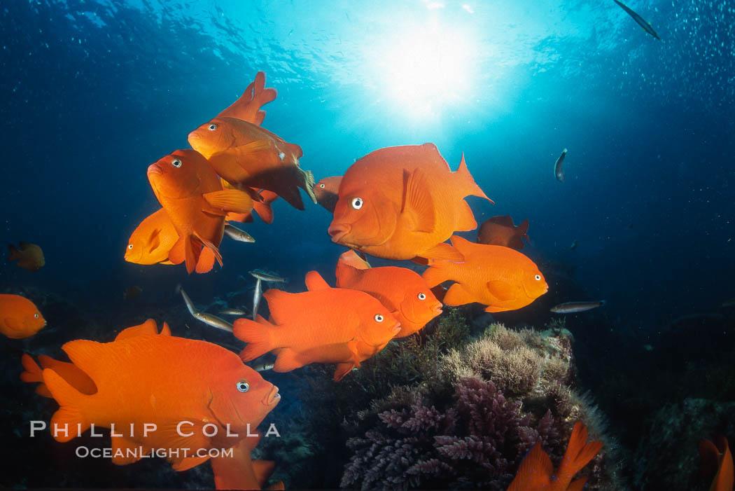 Garibaldi, Coronado Islands, Hypsypops rubicundus, Coronado Islands (Islas Coronado)