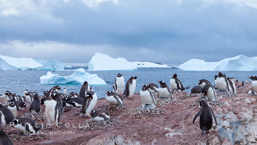 Gentoo penguin colony, Cuverville Island, Pygoscelis papua