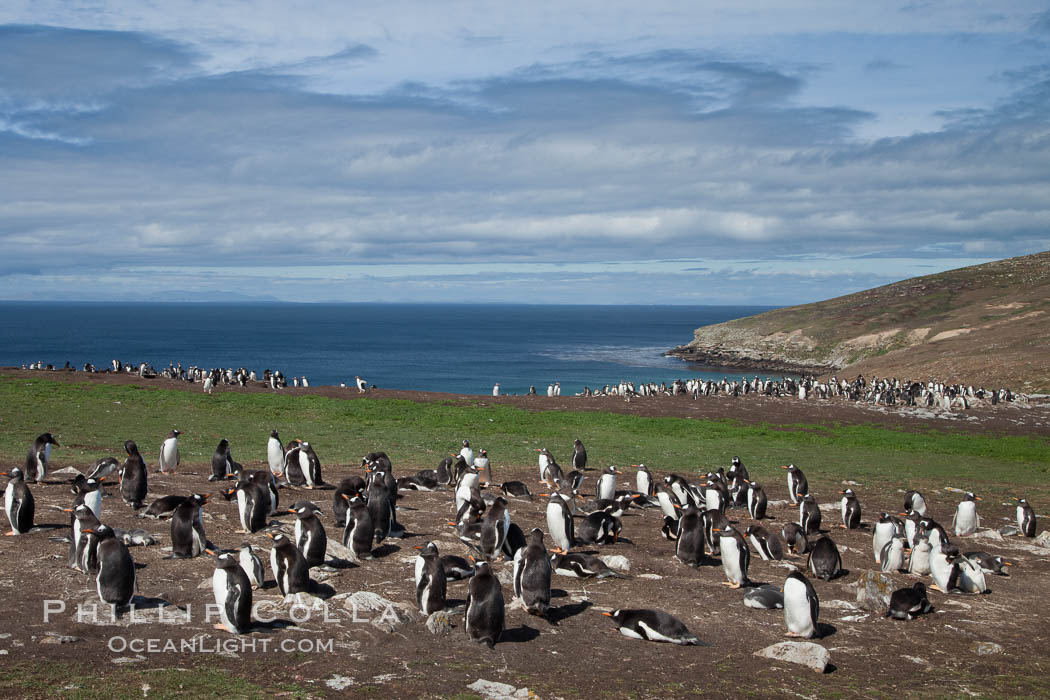 Gentoo penguin colony, set above and inland from the ocean on flat grasslands.  Individual nests are formed of small rocks collected by the penguins, New Island