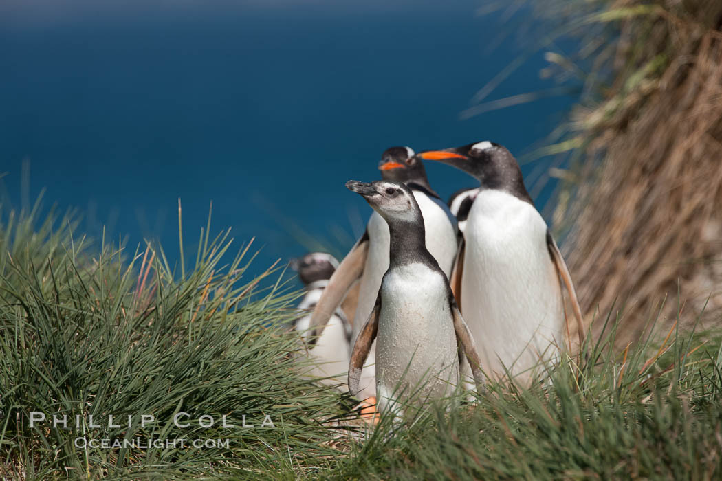 Mixed group of Magellanic and gentoo penguins, walk from the ocean through tall tussock grass to the interior of Carcass Island. Falkland Islands, United Kingdom, Pygoscelis papua, Spheniscus magellanicus, natural history stock photograph, photo id 24044