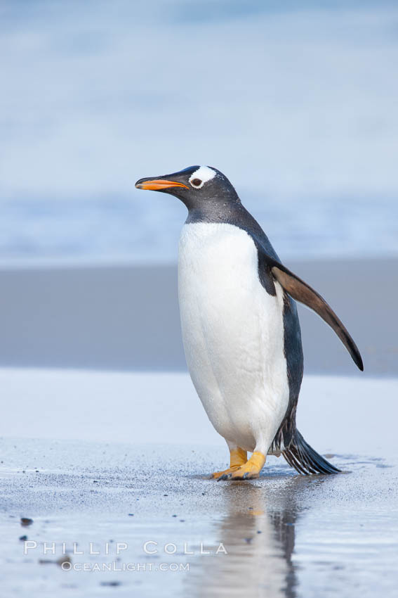 Image 23880, Gentoo penguin coming ashore, after foraging at sea, walking through ocean water as it wades onto a sand beach.  Adult gentoo penguins grow to be 30&quot; and 19lb in size.  They feed on fish and crustaceans.  Gentoo penguins reside in colonies well inland from the ocean, often formed of a circular collection of stones gathered by the penguins. New Island, Falkland Islands, United Kingdom, Pygoscelis papua