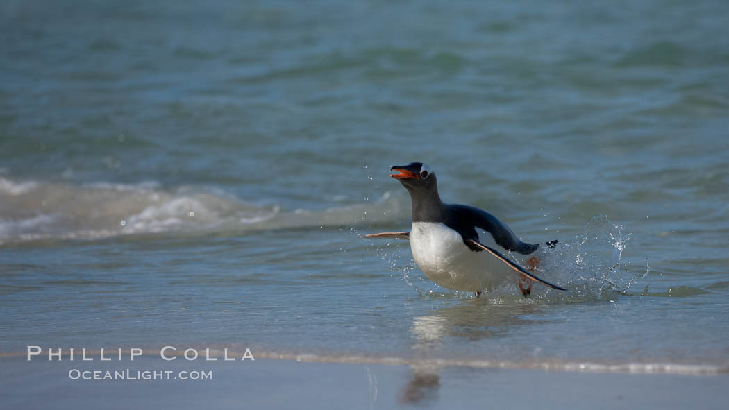 "Gentoo penguin coming ashore, after foraging at sea, walking through ocean water as it wades onto a sand beach.  Adult gentoo penguins grow to be 30"" and 19lb in size.  They feed on fish and crustaceans.  Gentoo penguins reside in colonies well inland from the ocean, often formed of a circular collection of stones gathered by the penguins. New Island, Falkland Islands, United Kingdom, Pygoscelis papua, natural history stock photograph, photo id 23888"