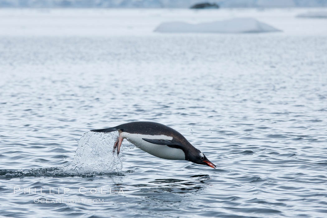 Gentoo penguin porpoising, leaping out of the water, Neko Harbor. Neko Harbor, Antarctic Peninsula, Antarctica, Pygoscelis papua, natural history stock photograph, photo id 25749
