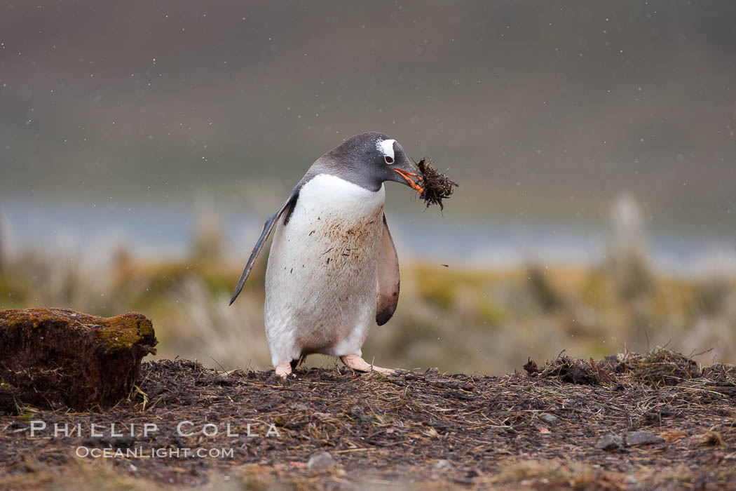 Gentoo penguin stealing nesting material, moving it from one nest (hidden behind the clump on the left) to its nest on the right.  Snow falling, Pygoscelis papua, Godthul