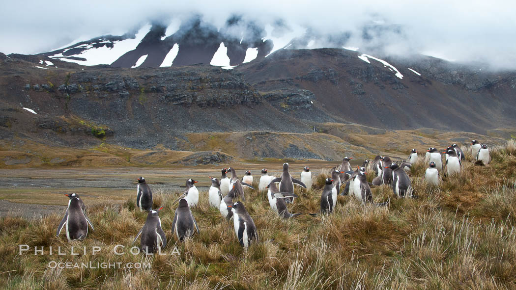 Gentoo penguins, permanent nesting colony in grassy hills about a mile inland from the ocean, near Stromness Harbour, South Georgia Island, Pygoscelis papua, Stromness Harbour