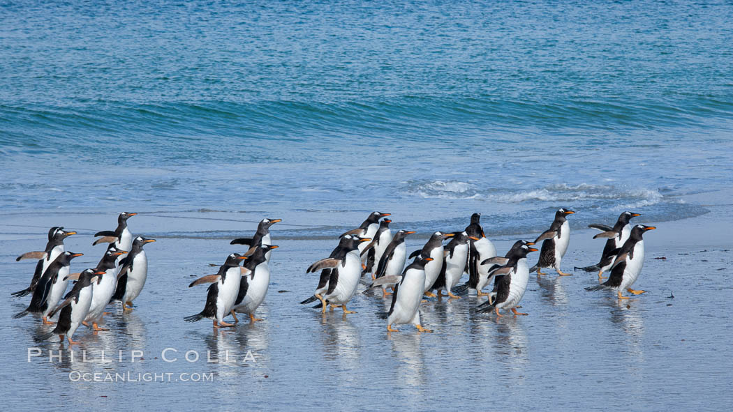 Gentoo penguins coming ashore, after foraging at sea, walking through ocean water as it wades onto a sand beach.  Adult gentoo penguins grow to be 30&quot; and 19lb in size.  They feed on fish and crustaceans.  Gentoo penguins reside in colonies well inland from the ocean, often formed of a circular collection of stones gathered by the penguins. New Island, Falkland Islands, United Kingdom, Pygoscelis papua, natural history stock photograph, photo id 23833