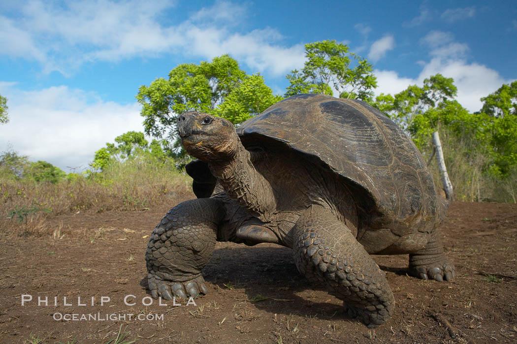 Galapagos tortoise, Santa Cruz Island species, highlands of Santa Cruz island. Santa Cruz Island, Galapagos Islands, Ecuador, Geochelone nigra, natural history stock photograph, photo id 16490