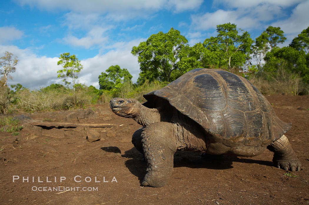 Galapagos tortoise, Santa Cruz Island species, highlands of Santa Cruz island. Galapagos Islands, Ecuador, Geochelone nigra, natural history stock photograph, photo id 16502