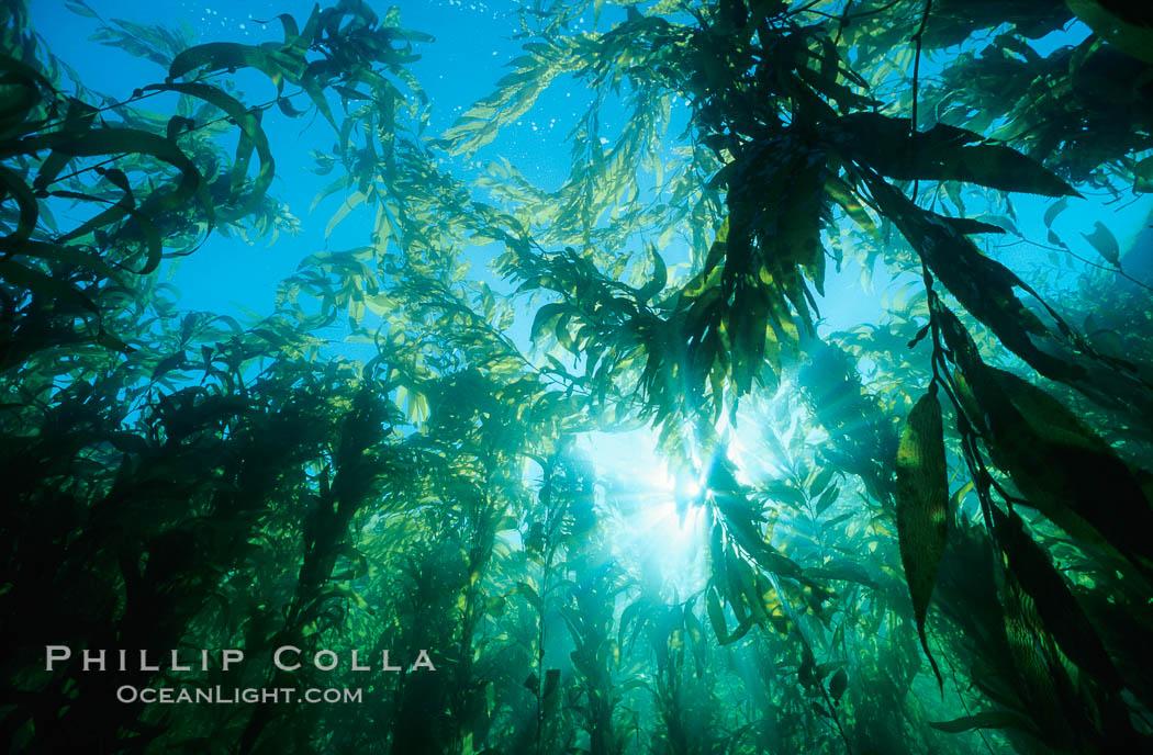 Kelp canopy. San Clemente Island, California, USA, Macrocystis pyrifera, natural history stock photograph, photo id 00250