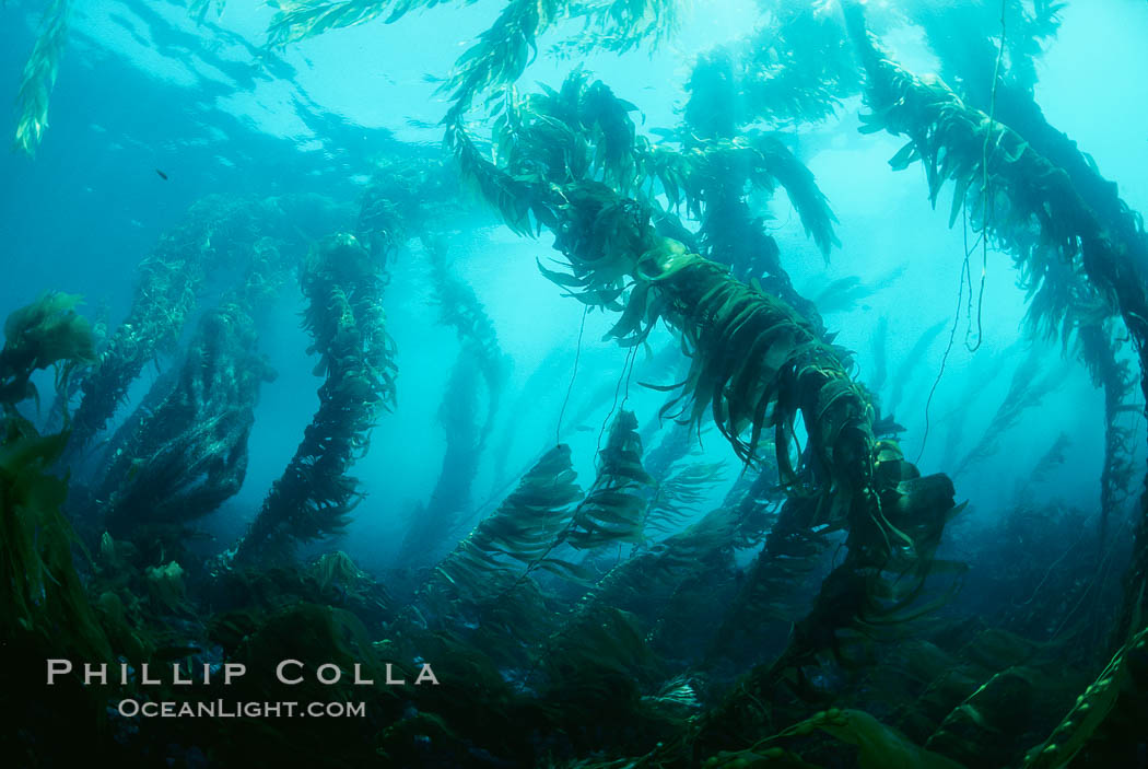Kelp canopy. San Clemente Island, California, USA, Macrocystis pyrifera, natural history stock photograph, photo id 00602