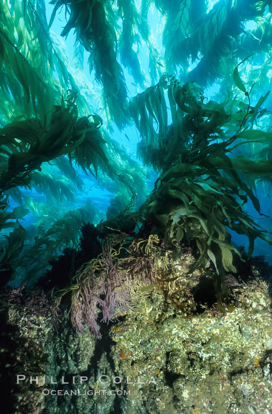 Kelp holdfast and substrate, Macrocystis pyrifera, San Clemente Island
