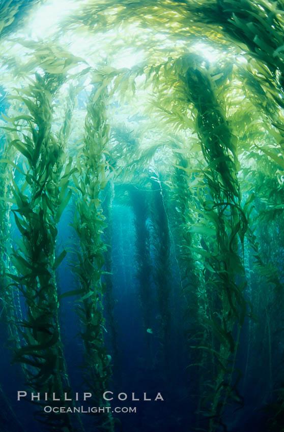 Kelp canopy. San Clemente Island, California, USA, Macrocystis pyrifera, natural history stock photograph, photo id 00600
