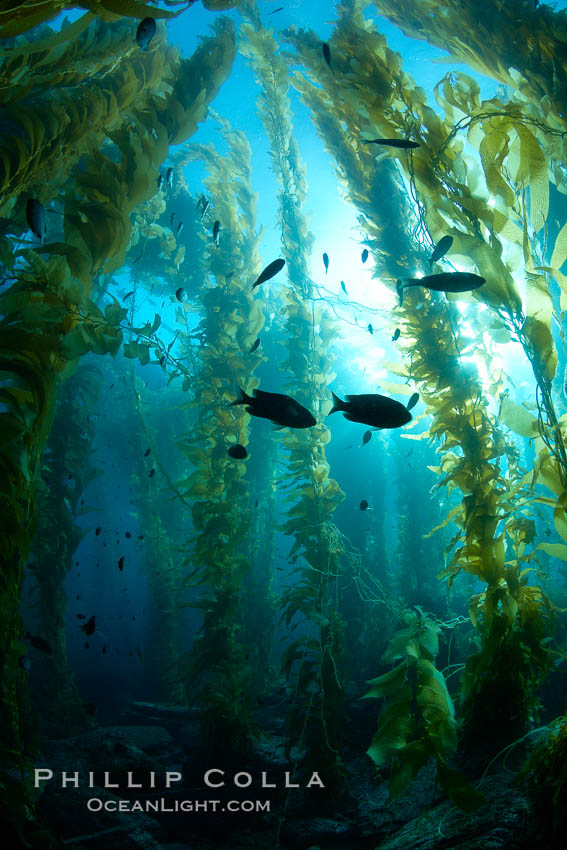 Kelp forest, sunlight filters through towering stands of giant kelp, underwater. Catalina Island, California, USA, Macrocystis pyrifera, natural history stock photograph, photo id 23456