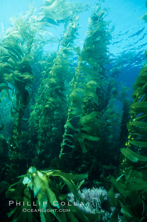 Kelp canopy., Macrocystis pyrifera,  Copyright Phillip Colla, image #02118, all rights reserved worldwide.