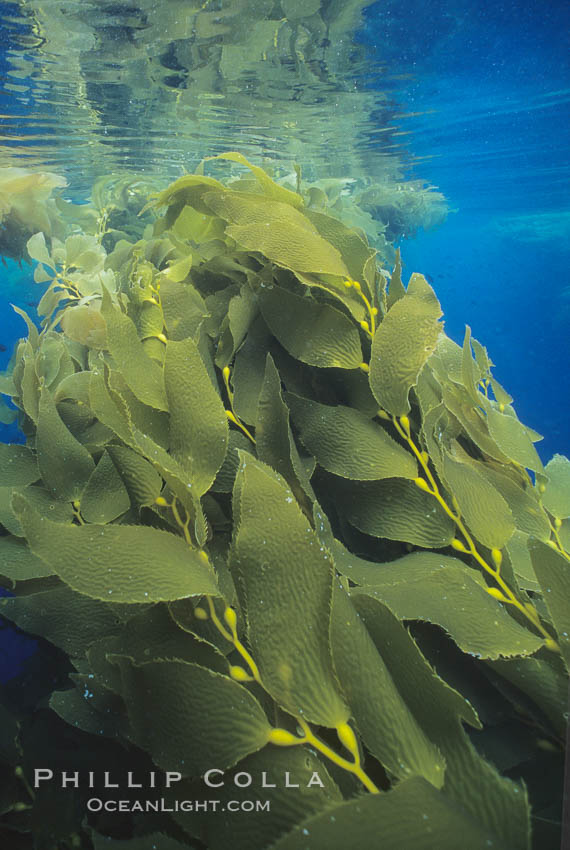 Kelp plants growing toward surface and spreading to form a canopy, Macrocystis pyrifera, San Clemente Island