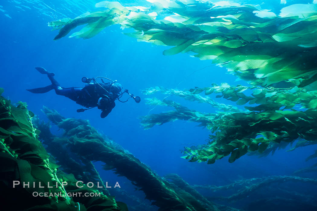 SCUBA diver amidst kelp forest. San Clemente Island, California, USA, Macrocystis pyrifera, natural history stock photograph, photo id 03426