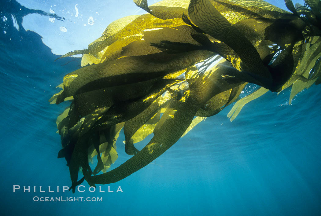 Kelp canopy. San Nicholas Island, California, USA, Macrocystis pyrifera, natural history stock photograph, photo id 02124