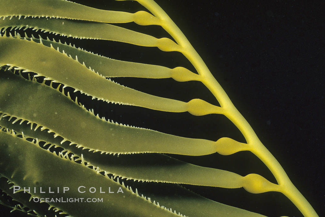 Kelp detail, San Diego. California, USA, Macrocystis pyrifera, natural history stock photograph, photo id 02125