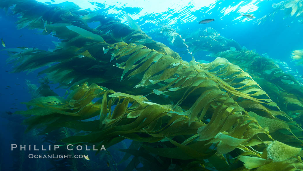 Giant kelp plants lean over in ocean currents, underwater.  Individual kelp plants grow from the rocky reef, to which they are attached, up to the ocean surface and form a vibrant community in which fishes, mammals and invertebrates thrive. San Clemente Island, California, USA, Macrocystis pyrifera, natural history stock photograph, photo id 23476