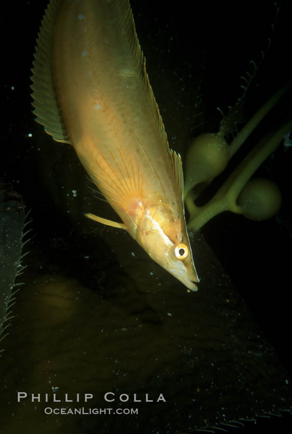Giant kelpfish in kelp. San Clemente Island, California, USA, Heterostichus rostratus, Macrocystis pyrifera, natural history stock photograph, photo id 05137