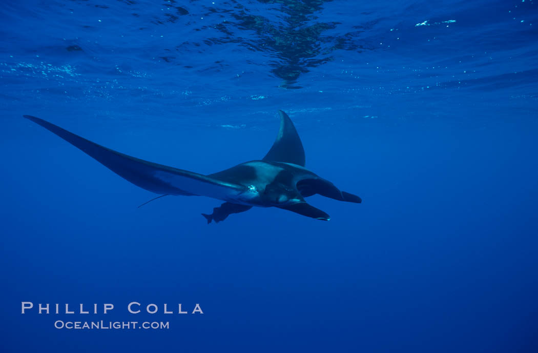 Manta ray. San Benedicto Island (Islas Revillagigedos), Baja California, Mexico, Manta birostris, natural history stock photograph, photo id 02446