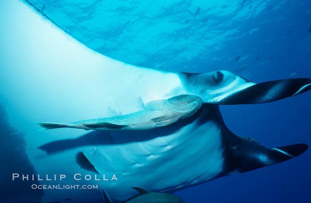 Manta ray and remora. San Benedicto Island (Islas Revillagigedos), Baja California, Mexico, Manta birostris, Remora, natural history stock photograph, photo id 02454