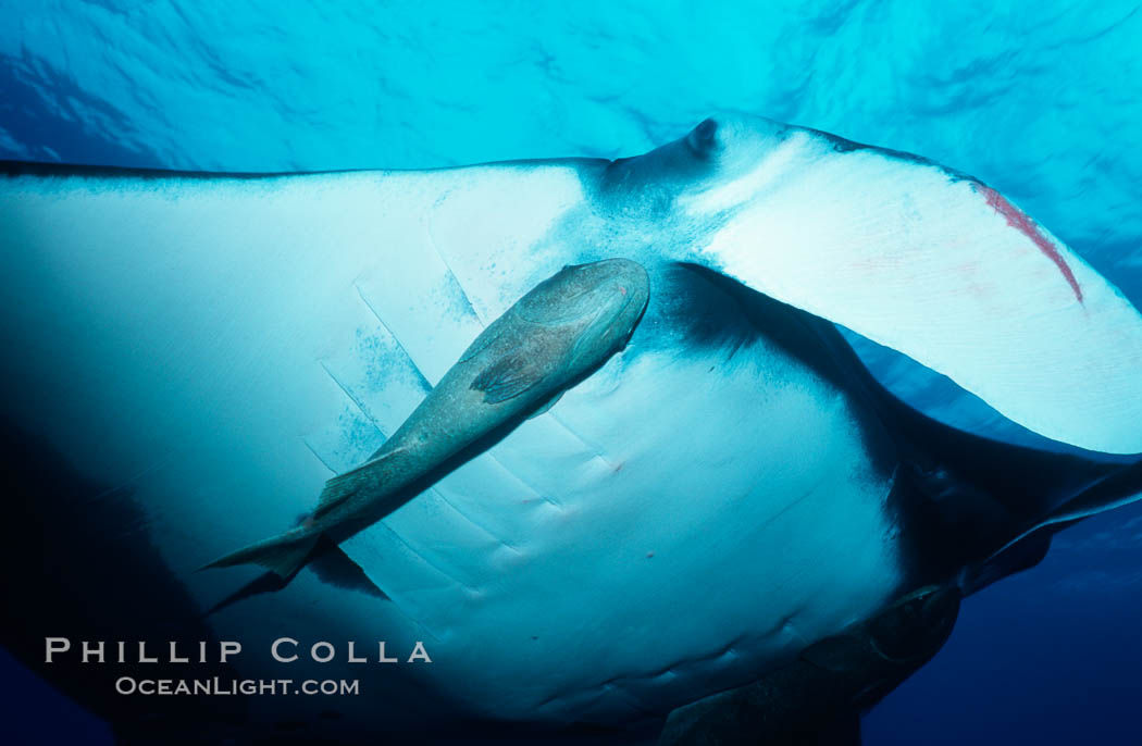Pacific manta ray with remora. San Benedicto Island (Islas Revillagigedos), Baja California, Mexico, Manta birostris, Remora, natural history stock photograph, photo id 06245