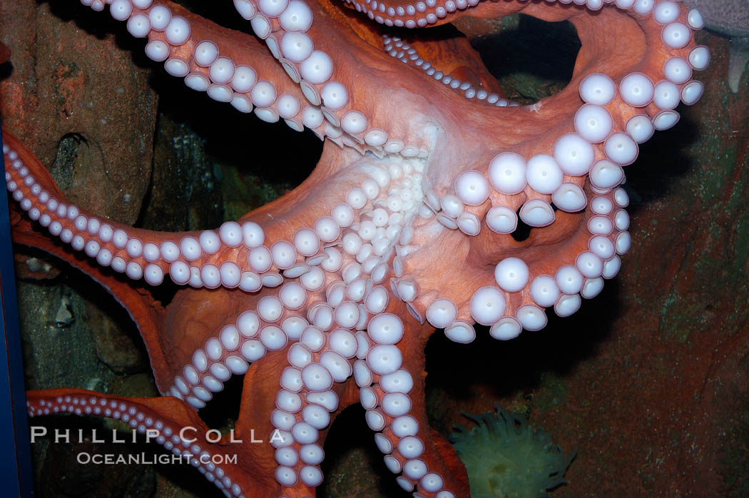 Tentacles (arms) and white disc-like suckers of a Giant Pacific Octopus.  The Giant Pacific Octopus arms can reach 16 feet from tip to tip, and the animal itself may weigh up to 600 pounds.  It ranges from Alaska to southern California., Octopus dofleini, natural history stock photograph, photo id 10277