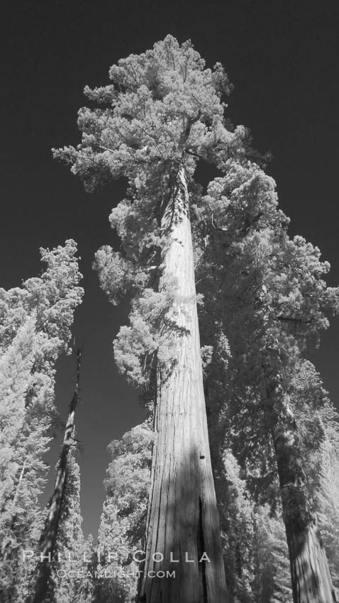 Giant sequoia tree towers over surrounding trees in a Sierra forest.  Infrared image, Sequoiadendron giganteum, Mariposa Grove, Yosemite National Park, California